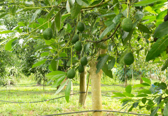 плантация авокадо