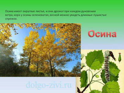 дерево осина
