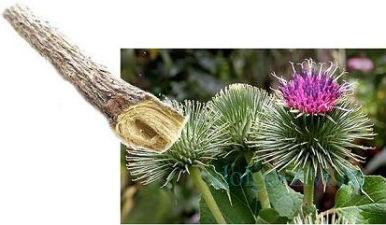 корень репейника