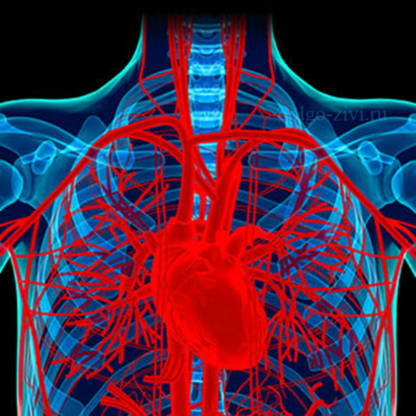 сердце и сосуды
