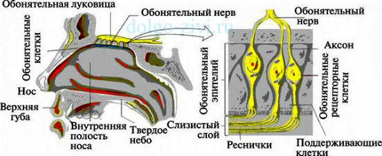обонятельный нерв