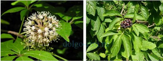 цветы и ягоды элеутерококка