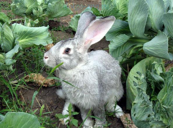 заяц в огороде