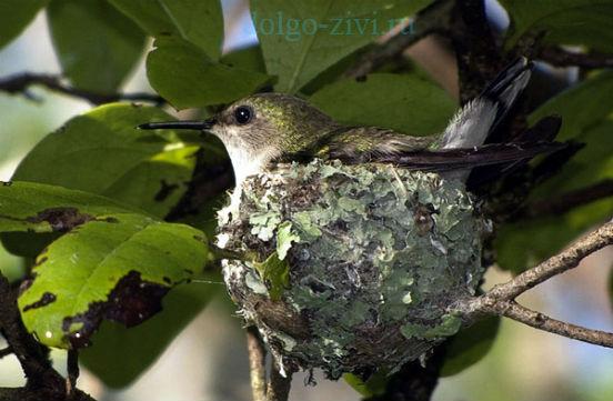 карликовый колибри