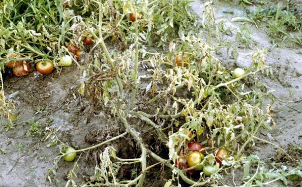 fusarium томатов