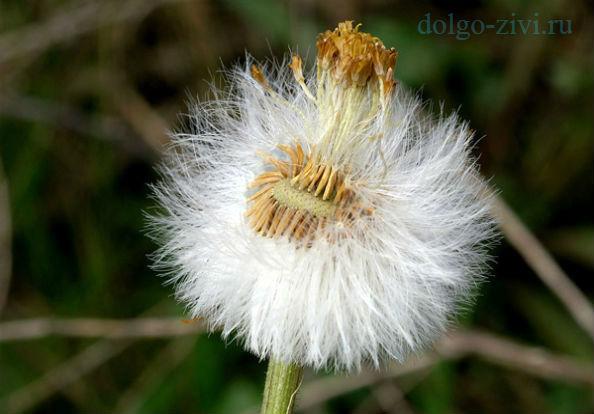 семена мать и мачехи