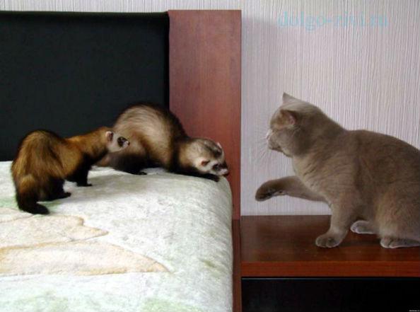 хорьки и кот