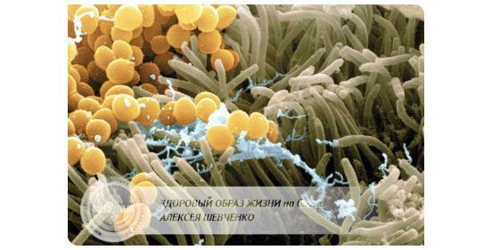 стафилококк среди ворсинок кишечника