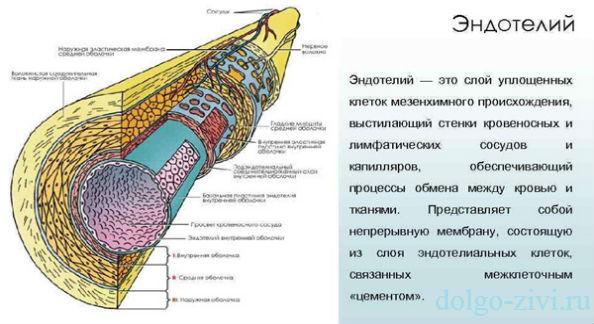 эндотелий