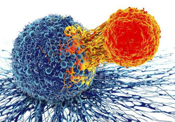 лимфоцит и раковая клетка