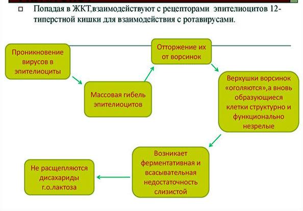действие ротавируса