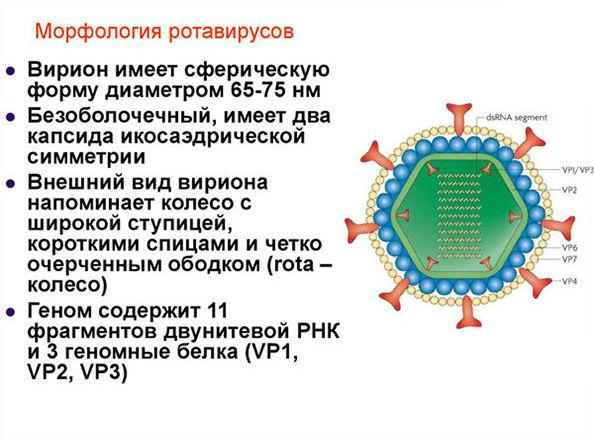 морфология ротавирусов
