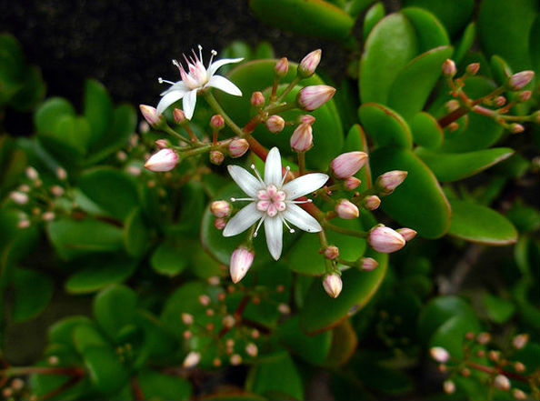 цветок толстянки