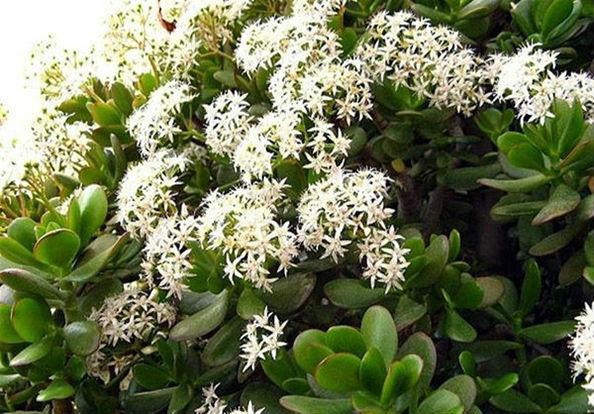 цветущее денежное дерево