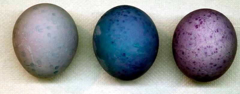 покраска на Пасху яиц чаем каркаде в пакетиках